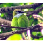 Grauer's or African Green Broadbill. Photo by Adam Riley. All rights reserved.