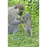 Vervet Monkeys. Photo by Dave Semler and Marsha Steffen. All rights reserved.