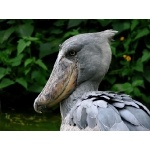 Shoebill. Photo by Rick Taylor. All rights reserved.