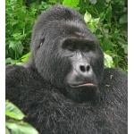 Portait of a Silverback. Photo by Rick Taylor. Copyright Borderland Tours. All rights reserved.
