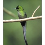 Long-tailed Sylph. Photo by Chris Sharpe. All rights reserved.