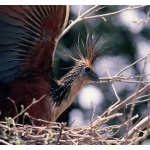 Hoatzin. Photo by Chris Sharpe. All rights reserved.