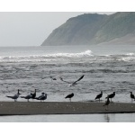 Birds and Surf at Villa Rica. Photo by Rick Taylor. All rights reserved.