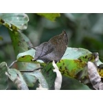 Pale Leafwing. Photo by Rick Taylor. Copyright Borderland Tours. All rights reserved.