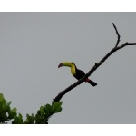 Keel-billed Toucan. Photo by Rick Taylor. All rights reserved.