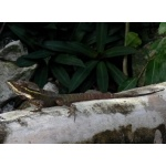 Brown Basilisk on Cozumel. Photo by Rick Taylor. Copyright Borderland Tours. All rights reserved.