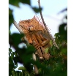 Green Iguana on Cozumel. Photo by Rick Taylor. Copyright Borderland Tours. All rights reserved.