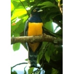 Violaceous Trogon. Photo by Rick Taylor. Copyright Borderland Tours. All rights reserved.