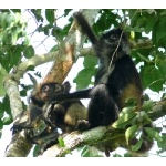 Central American Spider Monkeys. Photo by Rick Taylor. Copyright Borderland Tours. All rights reserved.