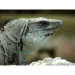 Black Iguana at Uxmal. Photo by Rick Taylor. Copyright Borderland Tours. All rights reserved.