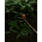 American Pygmy Kingfisher. Photo by Rick Taylor. Copyright Borderland Tours. All rights reserved.