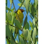 """Mangrove"" Yellow Warbler. Photo by Rick Taylor. Copyright Borderland Tours. All rights reserved."