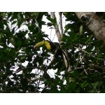 Keel-billed Toucan. Photo by Rick Taylor. Copyright Borderland Tours. All rights reserved.