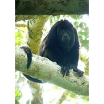 Yucatan Black Howler Monkey. Photo by Rick Taylor. Copyright Borderland Tours. All rights reserved.