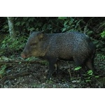 Collared Peccary. Photo by Rick Taylor. Copyright Borderland Tours. All rights reserved.