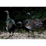 Ocellated Turkeys at Calakmul. Photo by Rick Taylor. Copyright Borderland Tours. All rights reserved.