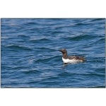 Common Murre. Photo by Dave Kutilek. All rights reserved.