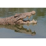 Cuban Crocodile. Photo by C. Allan Morgan. All rights reserved.