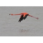 Greater Flamingo in flight. Photo by C. Allan Morgan. All rights reserved.