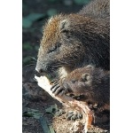 Hutia with baby. Photo by C. Allan Morgan. All rights reserved.
