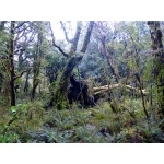 Fallen Southern Beech, Fiordland National Park. Photo by Rick Taylor. Copyright Borderland Tours. All rights reserved.