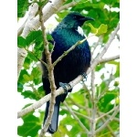 Tui. Photo by Rick Taylor. Copyright Borderland Tours. All rights reserved.