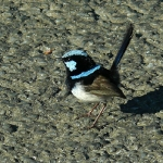 Superb Fairywren. Photo by Rick Taylor. Copyright Borderland Tours. All rights reserved.
