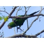 Hispaniolan Parakeet. Photo by Rick Taylor. Copyright Borderland Tours. All rights reserved.