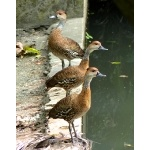 West Indian Whistling-Ducks. Photo by Rick Taylor. Copyright Borderland Tours. All rights reserved.