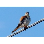 Caribbean form American Kestrel. Photo by Rick Taylor. Copyright Borderland Tours. All rights reserved.