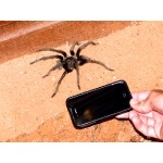Hispaniolan Giant Tarantula, Phormictopus cancerides, with Cell Phone. Photo by Rick Taylor. Copyright Borderland Tours. All rights reserved.