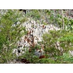 Limestone plants near Cabo Rojo. Photo by Rick Taylor. Copyright Borderland Tours. All rights reserved.