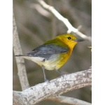Prothonotary Warbler. Photo by Rick Taylor. Copyright Borderland Tours. All rights reserved.