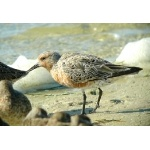 Red Knot. Photo by Rick Taylor. Copyright Borderland Tours. All rights reserved.