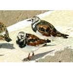 Ruddy Turnstones. Photo by Rick Taylor. Copyright Borderland Tours. All rights reserved.