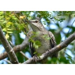 Bahama Mockingbird close-up Photo by Rick Taylor. Copyright Borderland Tours. All rights reserved.