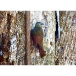 Ivory-billed Woodcreeper. Photo by Rick Taylor. Copyright Borderland Tours. All rights reserved.