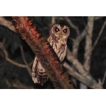 Mottled Owl. Photo by Rick Taylor. Copyright Borderland Tours. All rights reserved.