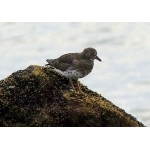 Surfbird.Photo by Rick Taylor. Copyright Borderland Tours. All rights reserved.