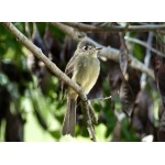 Confiding Cuban Pewee. Photo by Rick Taylor. Copyright Borderland Tours. All rights reserved.