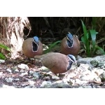 Blue-headed Quail-Doves. Photo by John Yerger  All rights reserved.