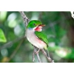 Cuban Tody. Photo by John Yerger  All rights reserved.
