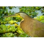 Bare-throated Tiger-Heron. Photo by Rick Taylor. Copyright Borderland Tours. All rights reserved.