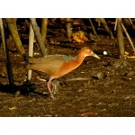 Rufous-necked Wood-Rail. Photo by Rick Taylor. Copyright Borderland Tours. All rights reserved.