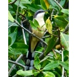 Mangrove Cuckoo. Photo by Rick Taylor. Copyright Borderland Tours. All rights reserved.