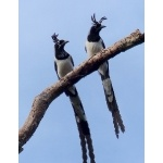 Black-throated Magpie-Jays. Photo by Rick Taylor. Copyright Borderland Tours. All rights reserved.