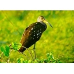 Limpkin. Photo by Rick Taylor. Copyright Borderland Tours. All rights reserved. (Rick Taylor)