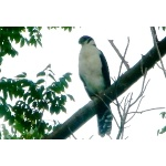 Collared Forest-Falcon. Photo by Rick Taylor. Copyright Borderland Tours. All rights reserved.