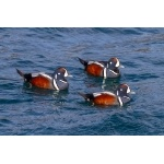 Harlequin Ducks. Photo by Gaukur Hjartarson. All rights reserved.