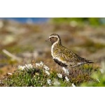 European Golden-Plover. Photo by Gaukur Hjartarson. All rights reserved.
